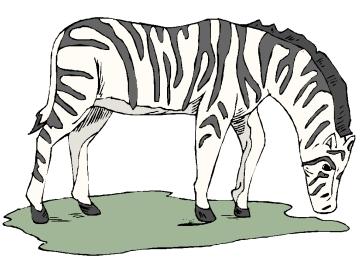 Zebra Ausmalbilder Erwachsene